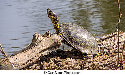 Turtle - The turtle water in the Astrakhan region is heated...