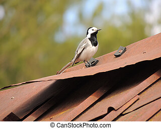 Wagtail on a house roof very beautiful and courageous bird