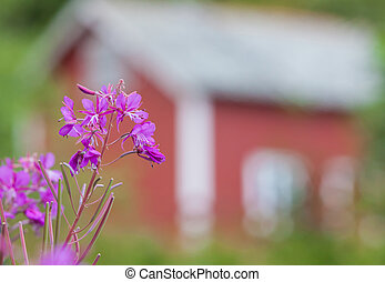 Forest fireweed before Rorbu