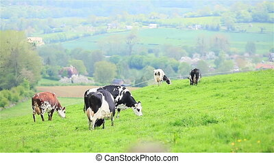 Herd of cows graze in green pasture