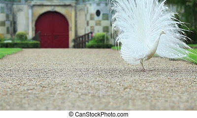 White peacock on gravel in a yard