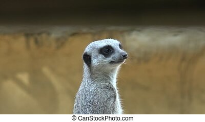Anxious and Fearful Meerkat at Zoo