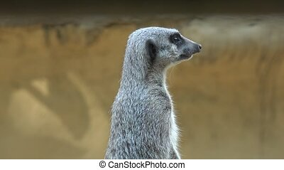 Cute Meerkat at Zoo