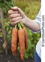 Woman Holding Bunch Of Home Grown Carrots