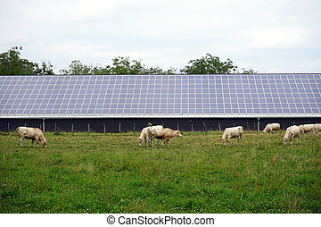 Cows and solar power station - Herd of cows and solar power...