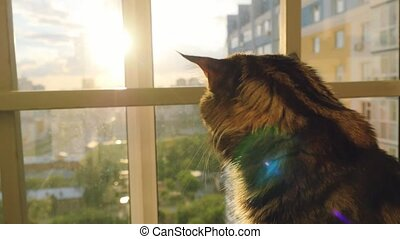 beautiful maine coon cat sitting on the window watch sunset...
