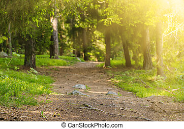North scandinavian forest - North scandinavian pine sunny...