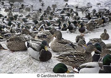 ducks in winter pond - mallard ducks in winter pond on ice