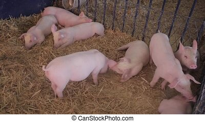 Pigs - Several Pigs in Pen at Farm