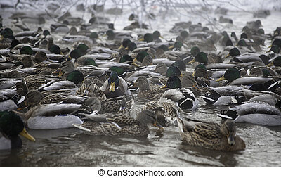 many ducks in winter pond - lot of mallard ducks in winter...