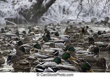 mane ducks in winter pond water - mallard ducks in winter...