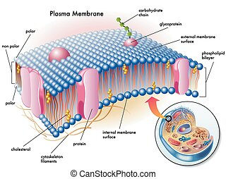 plasma membrane - medical illustration of elements of plasma...