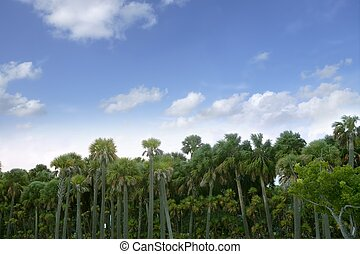 Palm tree forest in Florida  blue summer tropical sky