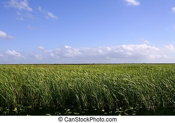 Blue sky in Florida Everglades wetlands green plants...