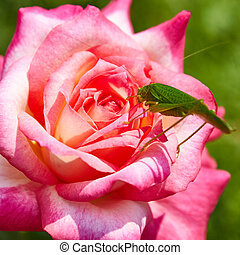 Katydid Tettigonia cantans on a pink rose Presents in most...