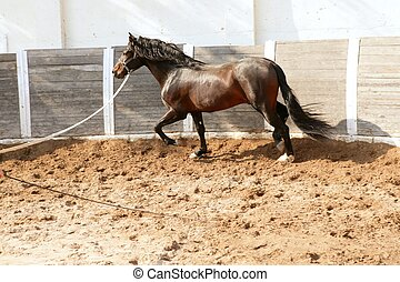 Dressage horse in round arenas with rope, running