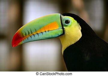 Kee, billed, toucan, oiseau, coloré