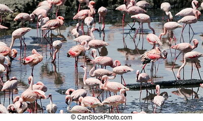 Large amount of flamingos in Africa - Large flocks of...