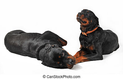 two rottweiler - two cute purebred rottweiler on a white...