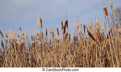 Reeds in winter and blue sky