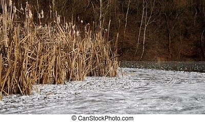 Reeds in winter and frozen lake