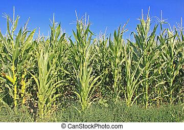 Maize Corn - Full Grown Maize Plants in Corn Field