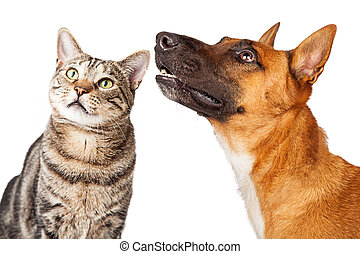 Closeup Shepherd Dog and Cat Looking Side