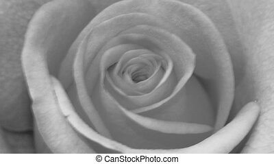 Rose black and white slow pan out
