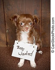 Dog wants boss - Three months old puppy chihuahua dog...