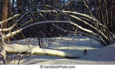 Winter mixed forest covered with snow illuminated by sun.