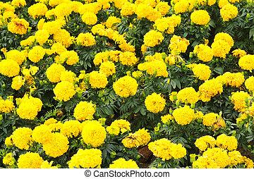 Marigolds Tagetes erecta, Mexican marigold, Aztec marigold,...