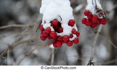 viburnum berries covered in snow at wintertime - viburnum...