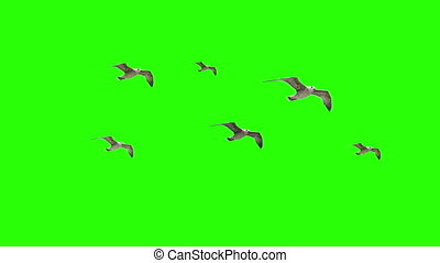 Flying Seaguls on Chroma key - Flying Seaguls on Green...
