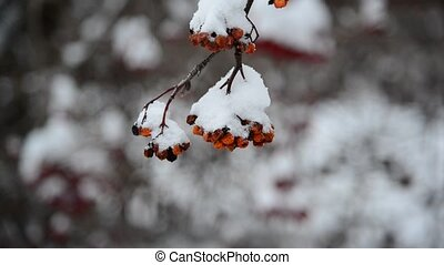 Rowan berries covered in snow at wintertime - Rowan berries...