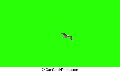 Lonely Bird On Chroma Key - Lonely Seagull On Chroma Key