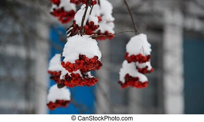 Rowan berries covered in snow at wintertime. - Rowan berries...