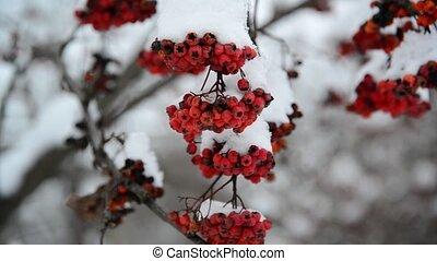 Rowan berries covered in snow at wintertime. - Rowan berries...