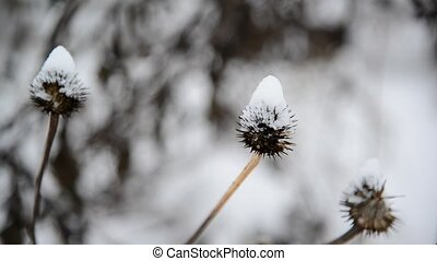 Weeds its way through of snow - Weeds its way through of the...
