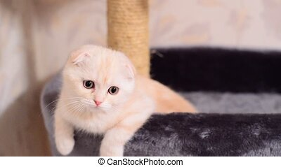 Beige kitten Scottish Fold breed on bed near the scratching...
