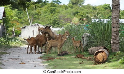 Goats on the side of the road - Herd of goats are on the...