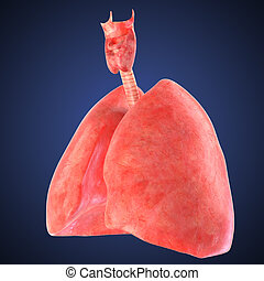 xray view of human lungs - high quality 3d rendered image