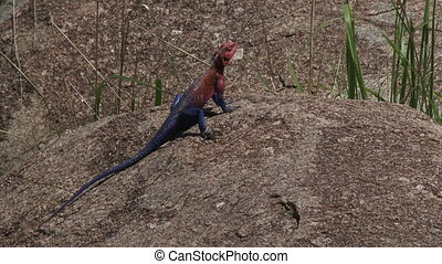Mwanza Agama sunbathing on a rock