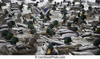 lot of ducks in winter pond - many mallard ducks in the...