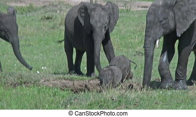 Elephant baby with mother and aunts around waterhole,...