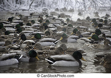 lot of ducks in winter pond - many ducks in winter pond on...