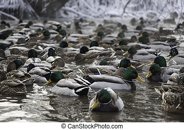 ducks in winter pond water - mallard ducks in winter pond in...