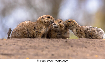 Three Black-tailed prairie dog - Family of Black-tailed...