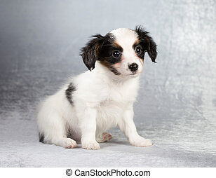 Papillon puppy sitting on a silvery background - Cute...