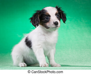 Papillon puppy on a green background - Cute Papillon puppy...
