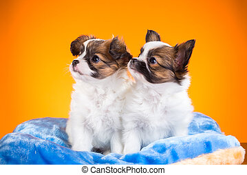 Two cute Papillon puppies on a orange background - Two cute...